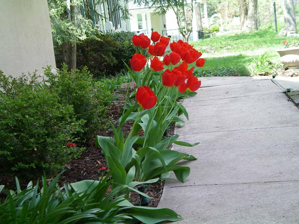 Ida's Garden - Tulips in Spring